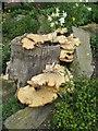 NZ8910 : Bracket fungus by Mike Kirby
