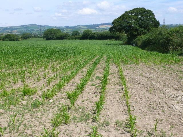 Maize Field at Purcombe Farm
