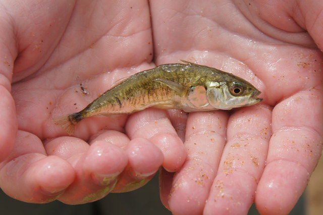 Three-spined Stickleback (Gasterosteus aculeatus), Embo beach