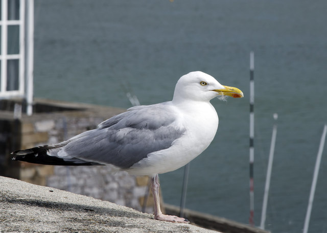 Herring Gull on sea wall - Above Royal Corinthian Yacht Club, Plymouth Hoe