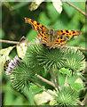 SE6944 : Polygonia c-album - Comma butterfly on Burdock by Pauline E