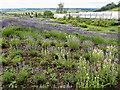 SE6670 : Yorkshire Lavender, Terrington, Yorkshire by Christine Matthews