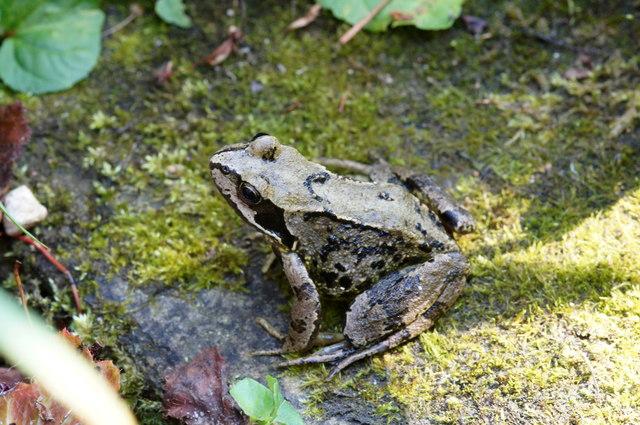 Common Frog (Rana temporaria), Melling