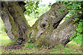 J3469 : An oak tree with four trunks, Belvoir forest, Belfast (August 2014) by Albert Bridge