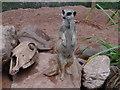 SX5858 : Meerkat on guard by Debbie J