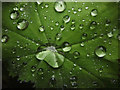 SD4972 : Water droplets on Lady's Mantle by Karl and Ali