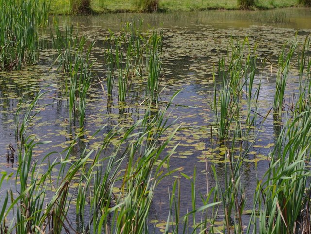 Lake with reeds and lilies