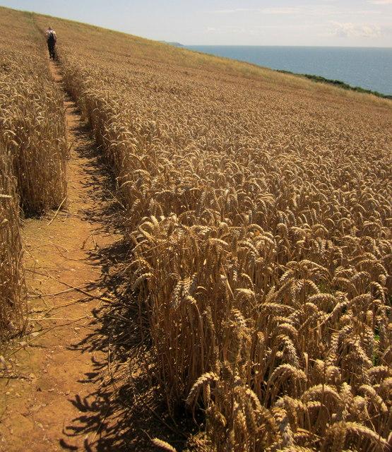 Wheat on the coast path