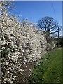 SE2463 : Blackthorn by the Nidderdale Way by Derek Harper