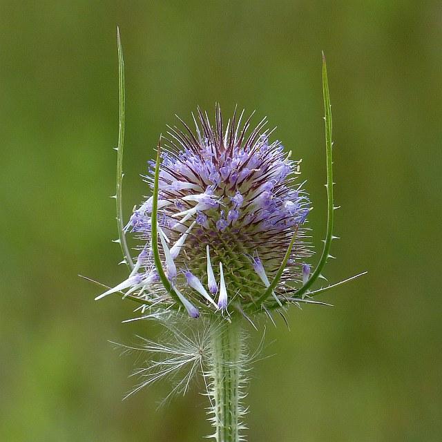 Teasel flower head, Cosmeston Lakes Country Park
