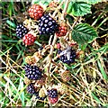 SU2175 : Blackberries and horse fly, the Ridgeway, near Woodsend, Wiltshire by Brian Robert Marshall