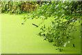 J2967 : Canal duckweed, Drumbeg/Ballyskeagh (August 2014) by Albert Bridge
