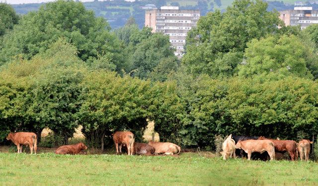 Sheltering cattle, Drumbeg/Ballyskeagh (August 2014)