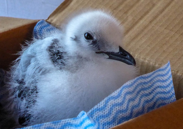 Young Kittiwake, Bempton RSPB Centre, Yorkshire