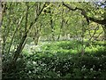 SX3170 : Ramsons near Kerney Bridge by Derek Harper