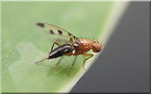 SJ3999 : The fly Geomyza tripunctata, Waddicar, Melling by Mike Pennington