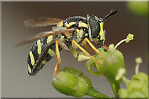 SJ3999 : The hoverfly Chrysotoxum festivum, Waddicar, Melling by Mike Pennington