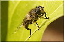 SJ3999 : The hoverfly Eristalis tenax, Waddicar, Melling by Mike Pennington