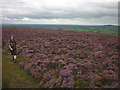 SD6540 : Heather moorland, Longridge Fell by Karl and Ali