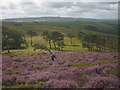 SD6648 : Blooming heather on Kitcham Hill by Karl and Ali