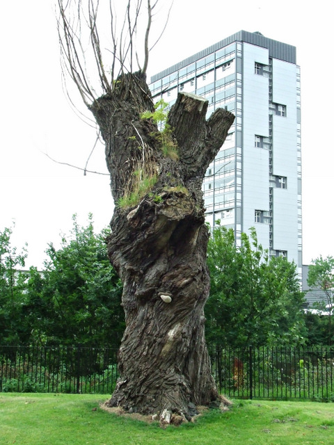 Old tree in Glasgow Green