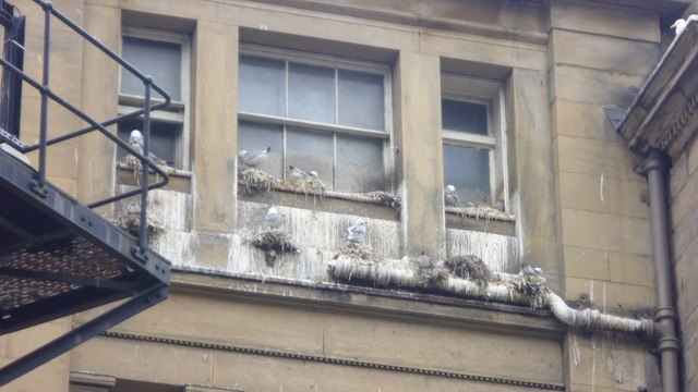 Kittiwakes nesting on the old Guild Hall in Newcastle upon Tyne