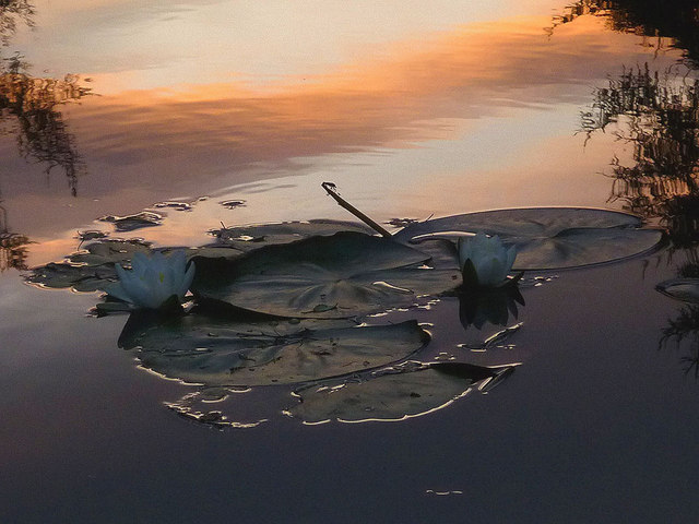Water lily at dusk, Low Dam