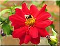 SU2496 : Bee on a dahlia in the walled garden by Steve Daniels