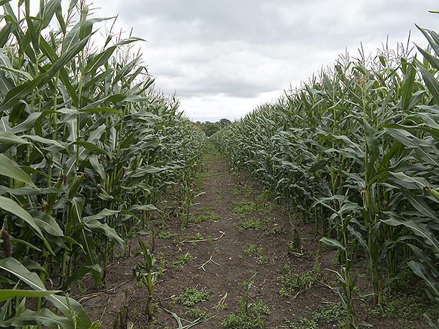 Footpath through maize plantation