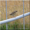 SE8693 : Meadow pipit on a gate by Pauline E