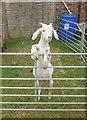 TQ0714 : Posing Goat by Paul Gillett