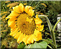 J3369 : Sunflower, Belfast (August 2014) by Albert Bridge
