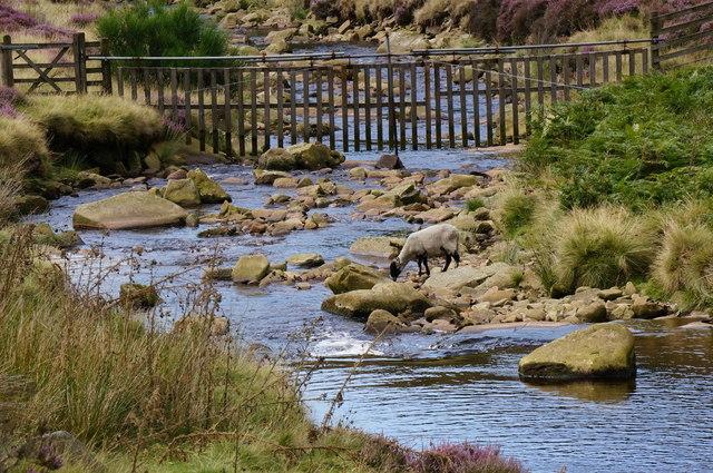 Sheep drinking, River Derwent