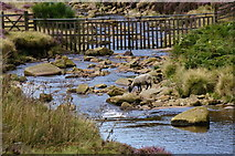 SK1695 : Sheep drinking, River Derwent by Peter Barr
