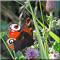 SE8390 : Peacock butterfly on thistle flower by Pauline E