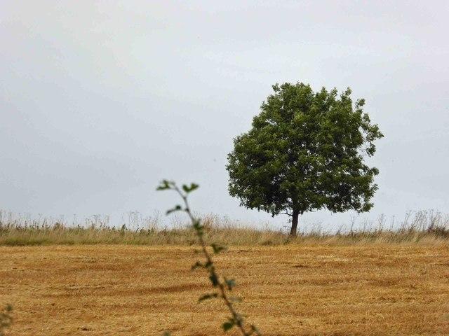 Isolated tree near Wold Newton