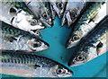 NJ1469 : Moray Firth Mackerel (Scomber scombrus) by Des Colhoun
