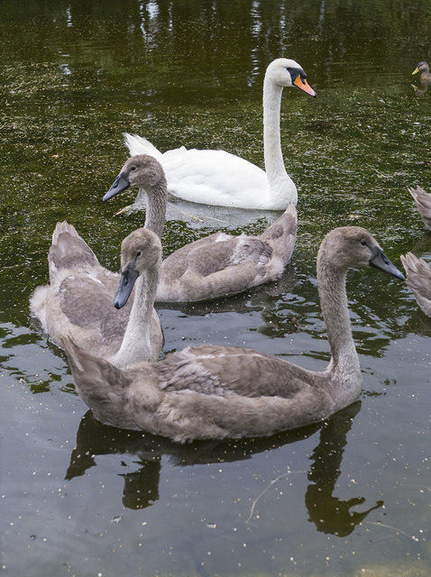 Swan and cygnets, Belfast