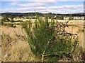 NJ6101 : Broom (Cytisus sp) in pod. by Stanley Howe