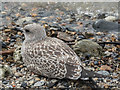 TQ3380 : Juvenile Lesser Black Backed Gull on Thames Beach, London E1 by Christine Matthews