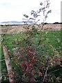 NJ6100 : Rose hips by Stanley Howe