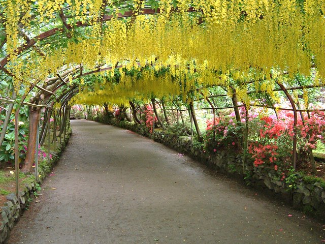 Laburnum arch Bodnant Garden in bloom