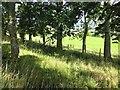 NN9424 : Strip wood, Braes of Foulis by Richard Webb
