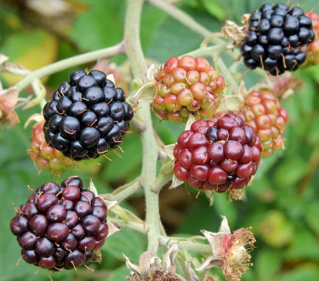 Blackberries, Helen's Bay - September 2014(1)