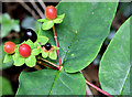 J4582 : Tutsan berries, Helen's Bay (September 2014) by Albert Bridge