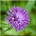 NZ8411 : Knapweed flower by East Row Beck by Pauline E