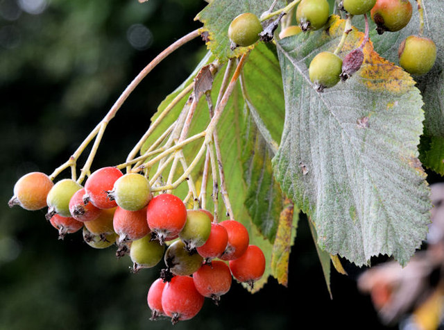 Whitebeam berries, Belfast (September 2014)