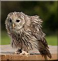 SE6083 : Ural owl (Strix uralensis) by Pauline E