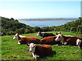 SN3309 : Coastline cattle by Gordon Hatton