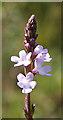 SZ0281 : Vervain (Verbena officinalis) by Anne Burgess